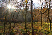 The earlyafternoon autumn sun through the tress in a wood near Almondbank, Perthshire, Scotland